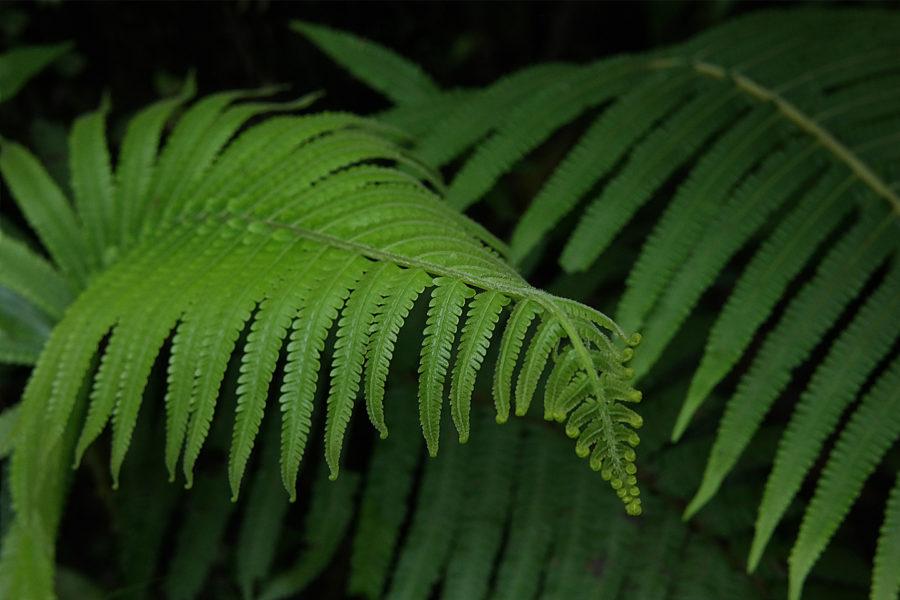 自然攝影,植物攝影,蕨類攝影